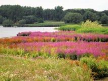 Vegetação do banco da lama com Goosefoot vermelho Foto de Stock Royalty Free