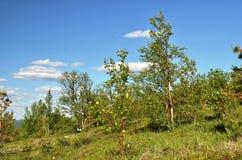 Vegetação do norte exíguo da montanha Foto de Stock Royalty Free