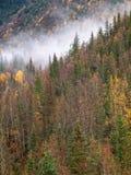Vegetação do pinho com névoa no autumm fotografia de stock
