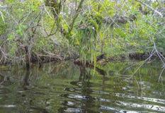 Vegetação no rio novo em Belize Foto de Stock