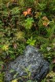Vegetação rasteira ártica Foto de Stock