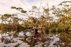 Vegetação típica em Laguna grandioso, parque nacional de Cuyabeno, Equador imagens de stock