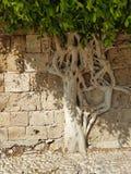 a vegetação urbana surpreendente, árvore de A cresce dentro de uma parede de tijolo e prospera fotografia de stock royalty free