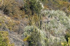 Vegeta??o da montanha com alo?s e cacto, flora do parque de Campana National do La no Chile central, ?m?rica do Sul imagem de stock