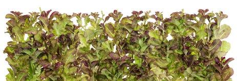 Vegetable граница изолированная салатом Стоковое Изображение RF