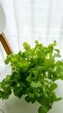Vegetable зеленый изолированный дуб стоковые фото