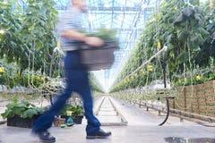 Vegetable плантация Стоковая Фотография RF