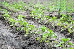 Vegetable поле стоковое изображение