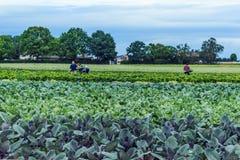 Vegetable поля в раннем лете Стоковое Фото
