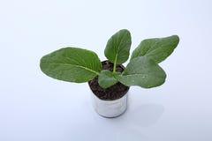 Vegetable растущее Стоковое Фото