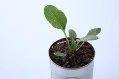 Vegetable растущее Стоковая Фотография