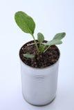 Vegetable растущее Стоковые Изображения RF