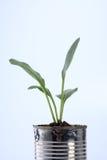 Vegetable растущее Стоковое Изображение RF