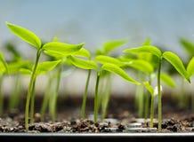 Vegetable ростки в подносе торфа Стоковые Изображения