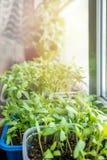 Vegetable саженцы для городского сада и огорода растут в пластмасовом контейнере на окне в земле на солнечный день стоковое изображение