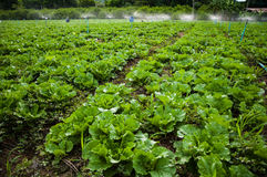 Vegetable ферма Стоковые Фотографии RF