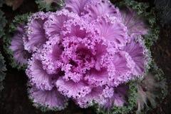 Vegetable цвет мадженты салата Стоковая Фотография RF