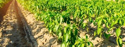 Строки овоща перца растут в поле обрабатывать землю, земледелие Ландшафт с аграрным краем r r стоковое фото rf