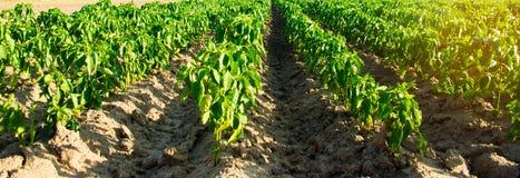 Строки овоща перца растут в поле обрабатывать землю, земледелие Ландшафт с аграрным краем r r стоковые фотографии rf