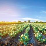 Плантации капусты растут в поле строки овоща обрабатывать землю, земледелие Ландшафт с аграрным краем урожаи стоковое фото