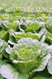 Vegetable. A fresh vegetable farm in cameron highland, Malaysia Royalty Free Stock Photo