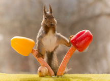 Vegetable acrobat. Red squirrel standing between two paprika,  and carrots Royalty Free Stock Photography