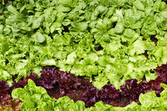 Vegetable in the agricultural farm Royalty Free Stock Photo