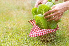 Vegetable Basket. Close up vegetable basket on the grass and woman`s hand pull green leafy Stock Photos