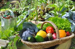 Vegetable basket in garden. Basket of fresh vegetables in a placed vegetable garden Royalty Free Stock Photography