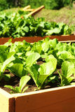 Vegetable bed Royalty Free Stock Photo