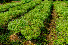 Vegetable bed of basil Stock Image