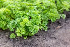 Vegetable bed with parsley. Vegetable bed with fresh, green parsley Royalty Free Stock Image