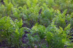 Vegetable beds baby carrots in the garden in summer. stock photography