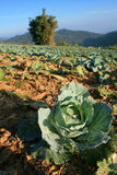 Vegetable cabbage farm in thailand Royalty Free Stock Images