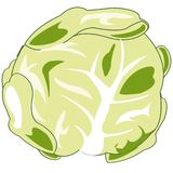 Vegetable cabbage on white background is insulated. Vector illustration of the vegetable cabbage on white background vector illustration