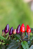 Vegetable chili with small purple and red. Royalty Free Stock Photos