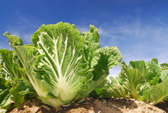 Vegetable,Chinese cabbage. Royalty Free Stock Photos