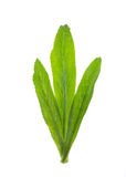 Vegetable coriander herb Royalty Free Stock Photo
