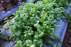 Vegetable coriander Stock Photos