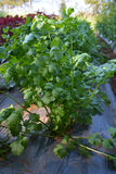Vegetable coriander Royalty Free Stock Photo