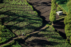 Vegetable crops on the hilly fields. Java, Indonesia Stock Photos