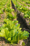 Vegetable cultivation Royalty Free Stock Photos