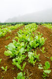 Vegetable cultivation Royalty Free Stock Photography