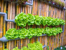 Vertical Vegetable Gardening Royalty Free Stock Photo