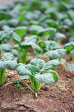Vegetable farm Royalty Free Stock Photography