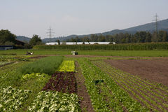 Vegetable farm. Different vegetable grown on small farm Royalty Free Stock Images