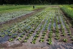 Vegetable farm. Different vegetable grown on small farm Stock Photos