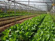 VEGETABLE FARM Stock Image