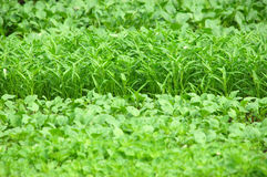 Vegetable farm royalty free stock photo
