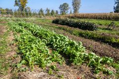 Vegetable farm at fall. With rapini row stock image